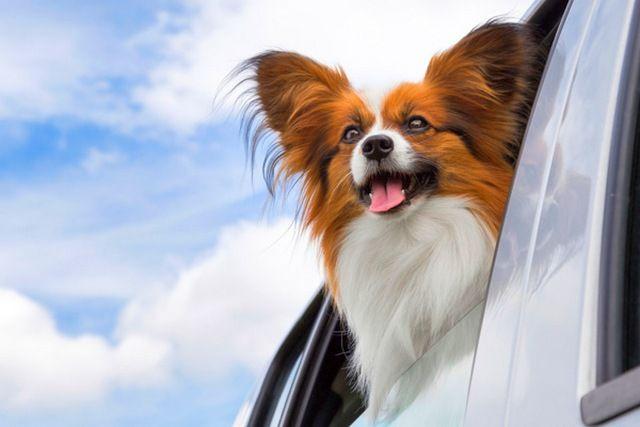 собака дивиться з вікна машини